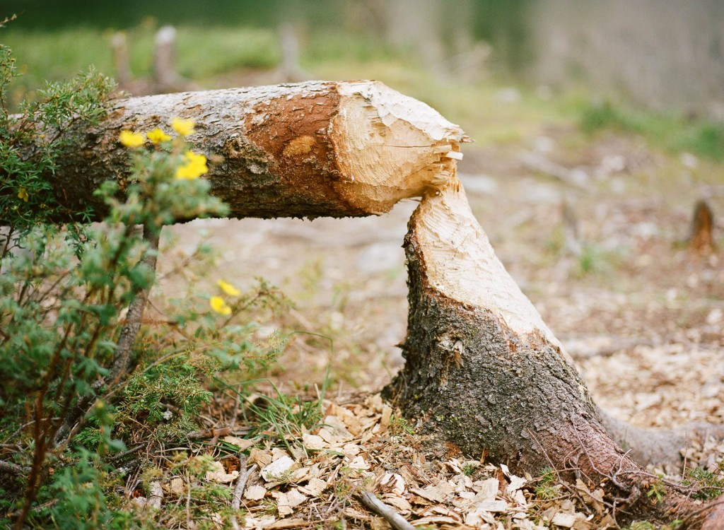 Don't you get tired of looking at graphs? So here's a picture of a tree in Alaska that was felled by a beaver. Read whatever you want into it and the state of the markets today.
